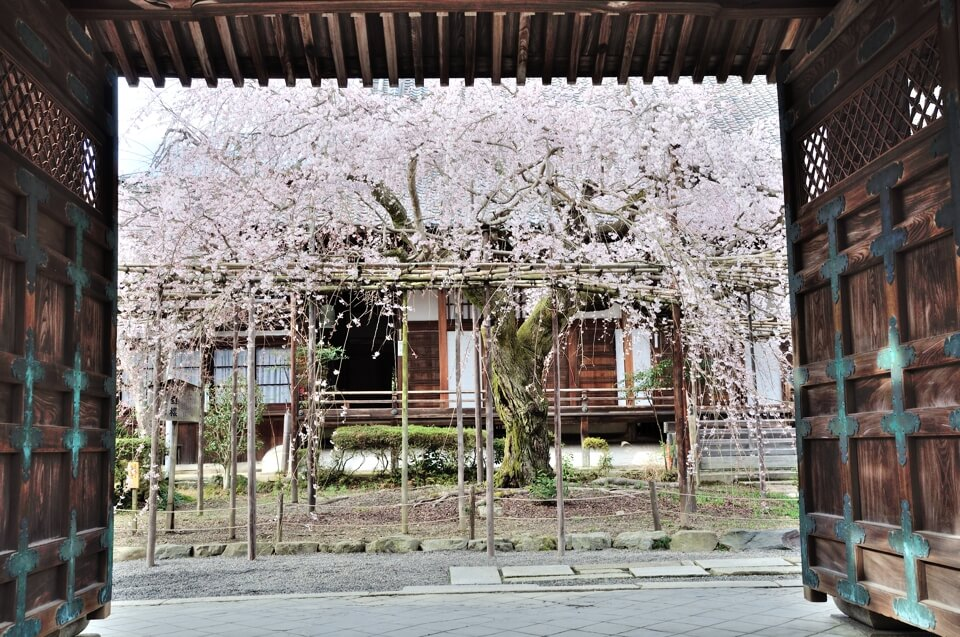 毘沙門堂の桜写真