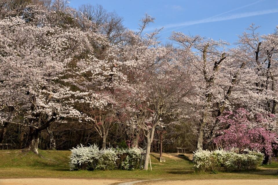水源公園の桜写真