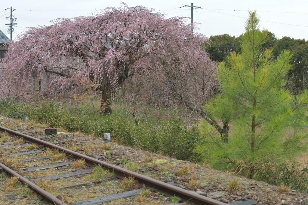 井上町一丁目しだれ桜