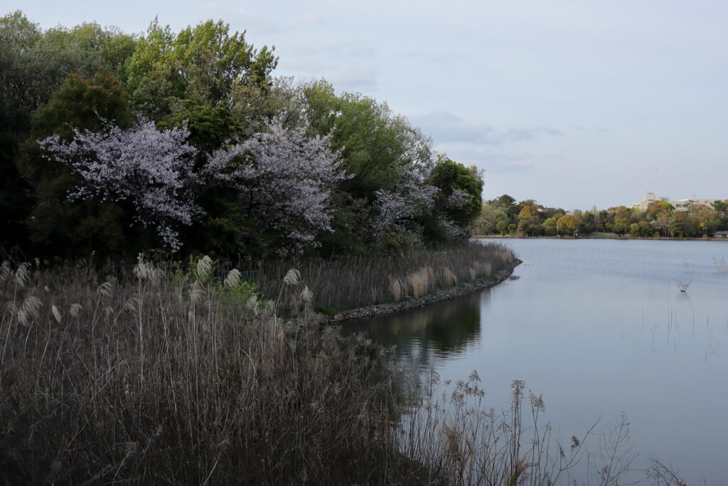 洲原池公園の桜写真