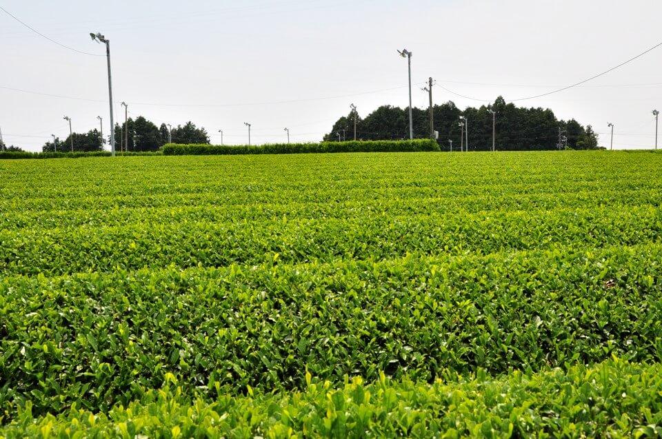 牧之原の茶畑写真