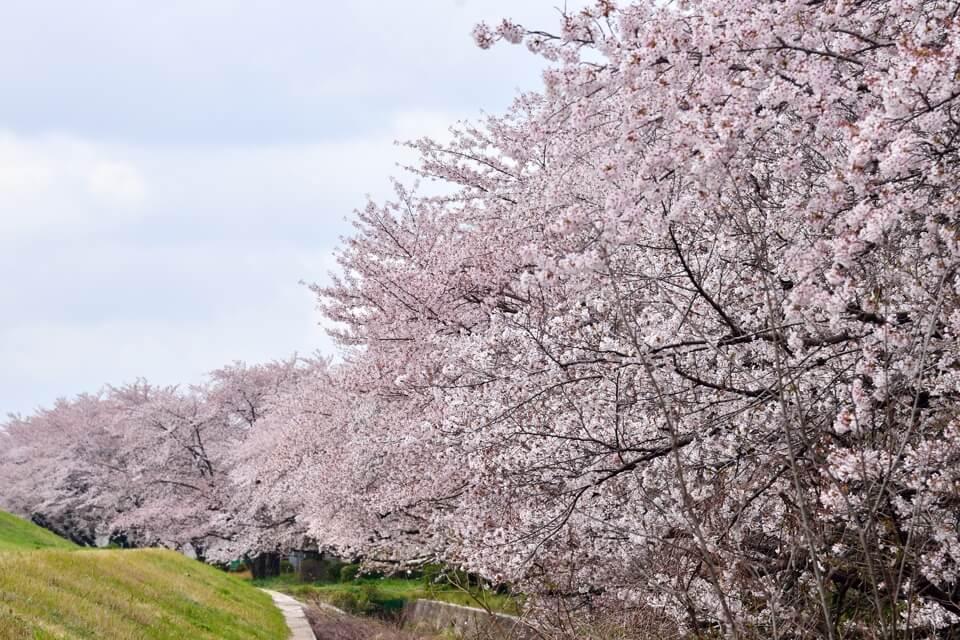 矢作川の桜並木写真