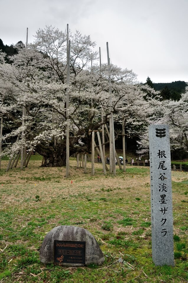 薄墨桜の満開写真