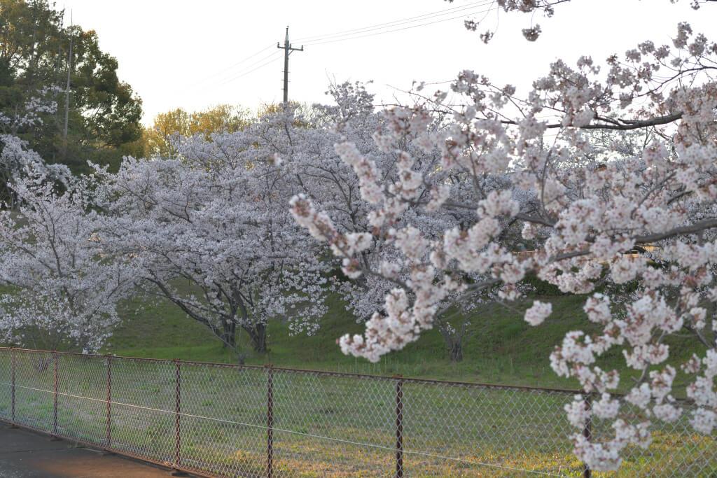 豊田市公設地方卸売市場の桜写真