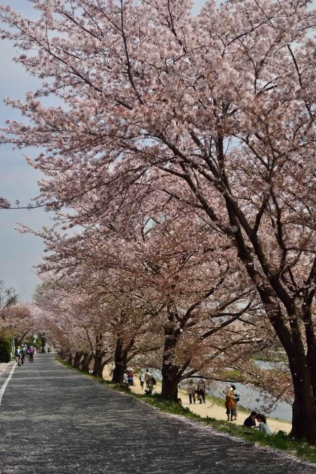 賀茂川の桜並木写真