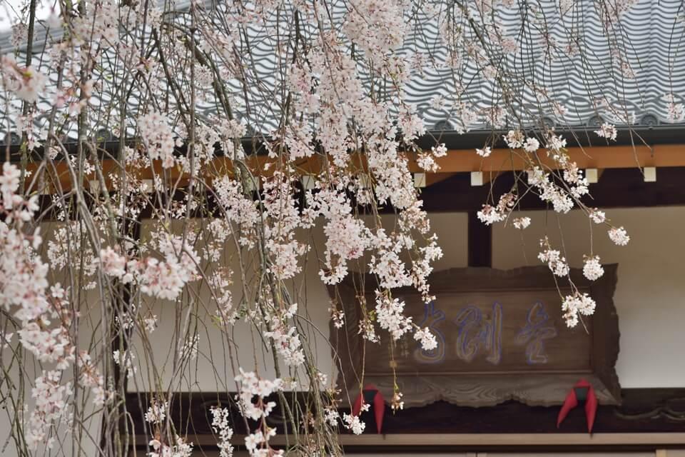 金剛寺しだれ桜写真