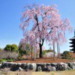 東寺の桜写真