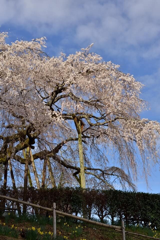 奥山田しだれ桜の名所写真