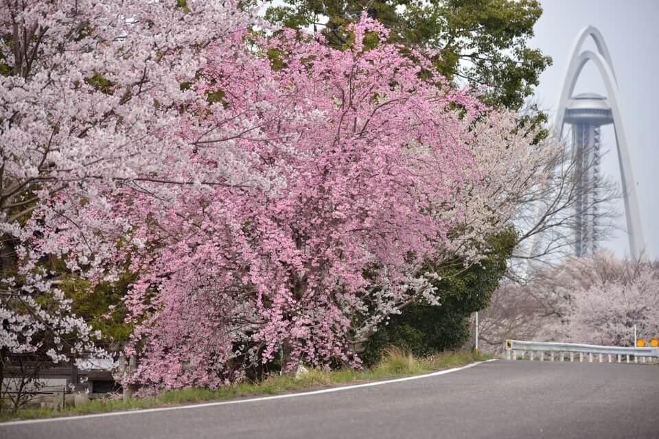 木曽川堤の桜並木写真
