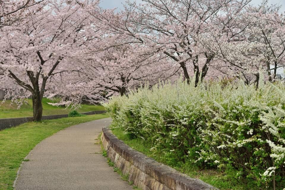 水無瀬川の桜写真