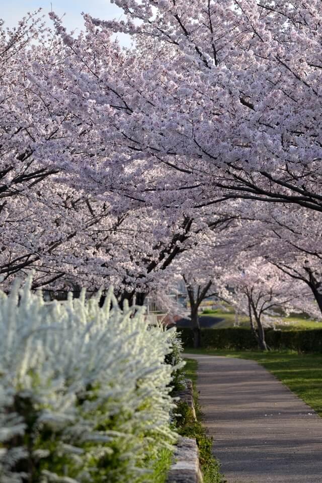 水無瀬川の満開の桜写真
