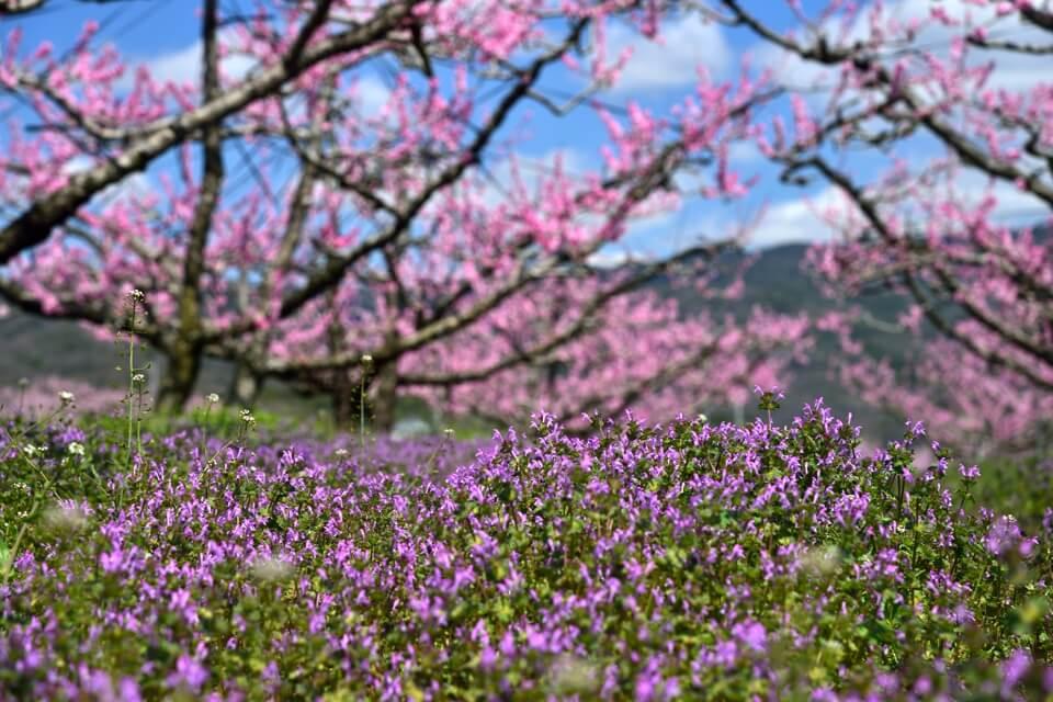 猿投の桃畑・桃の花の写真