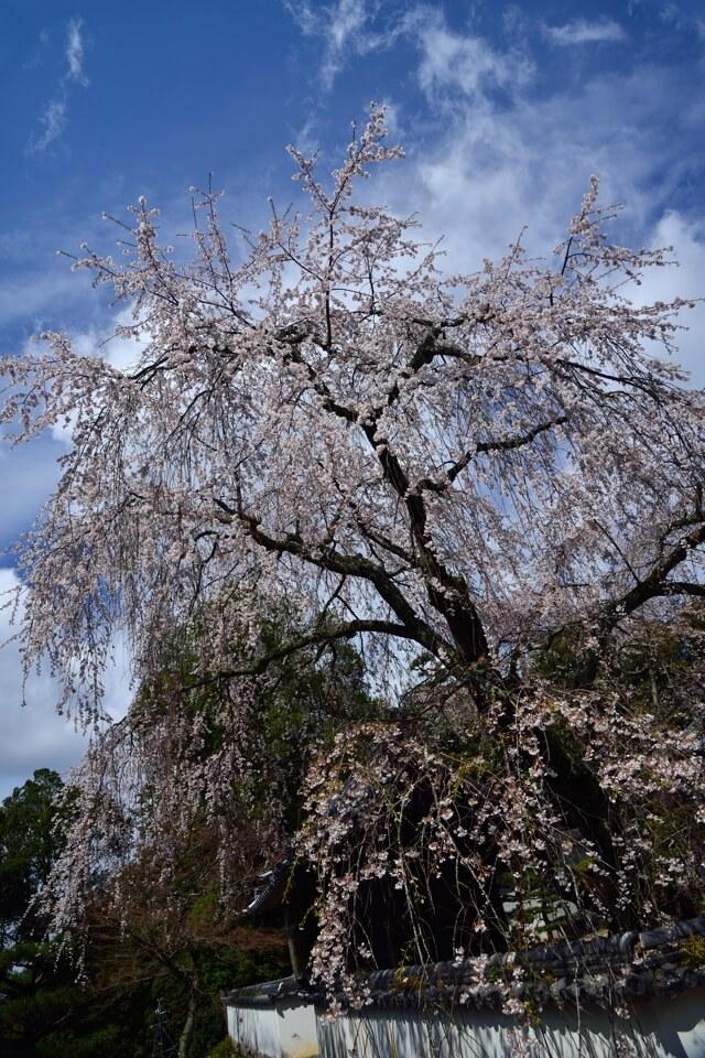 豊田市の桜名所まとめ写真