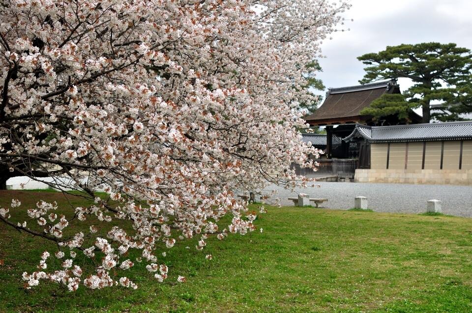 京都御所・建礼門の桜写真