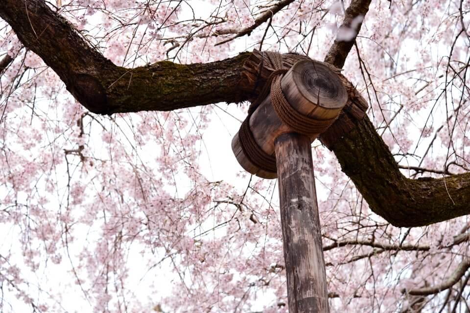 天龍寺の桜写真