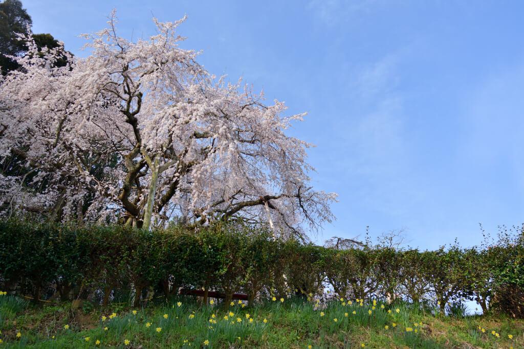 奥山田の枝垂れ桜写真