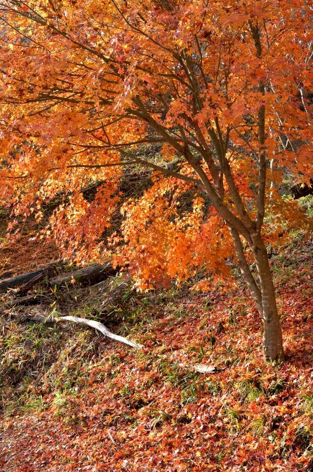 小原四季桜の写真、紅葉・サクラ