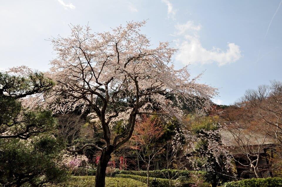 常寂光寺の桜写真