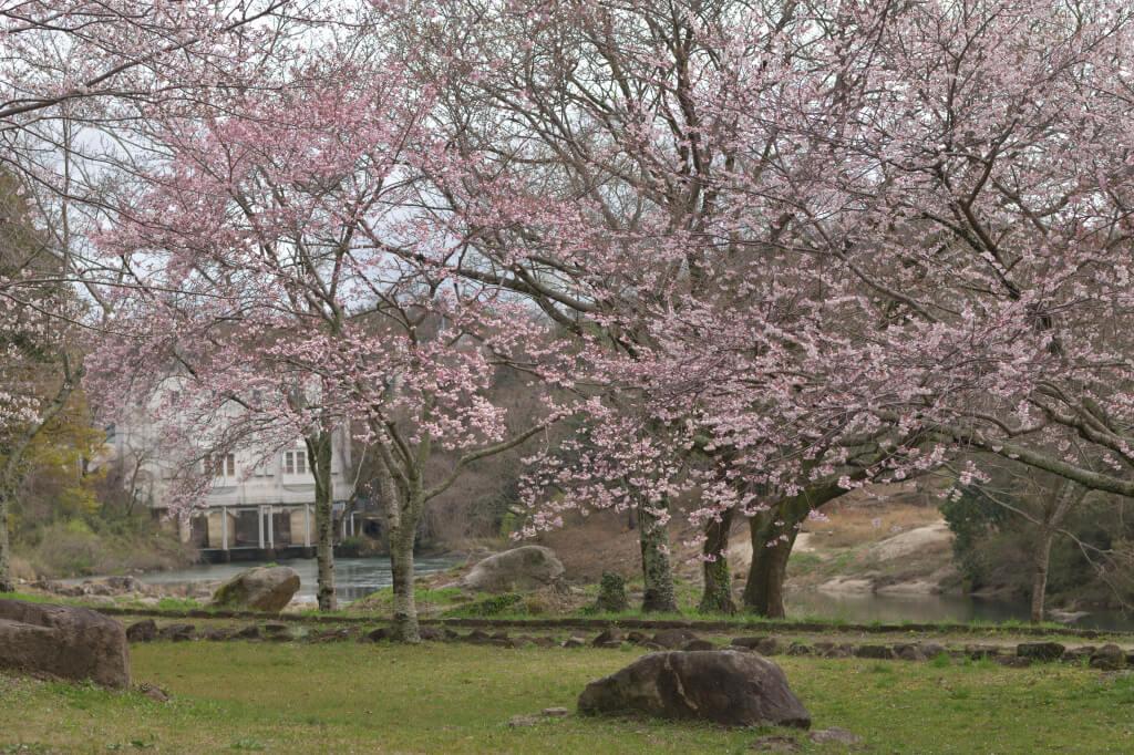 平戸橋公園桜写真