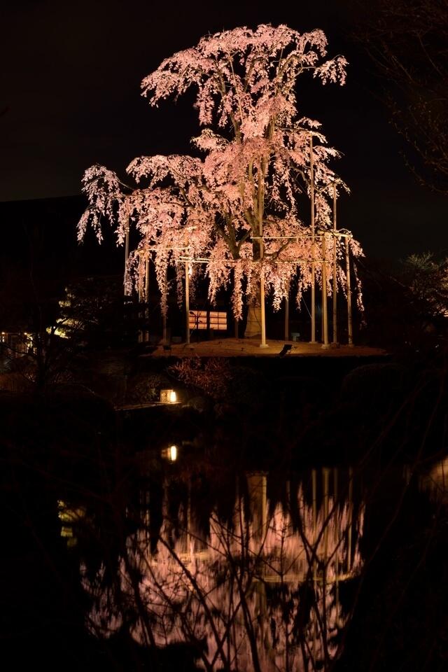 京都・東寺の夜桜写真