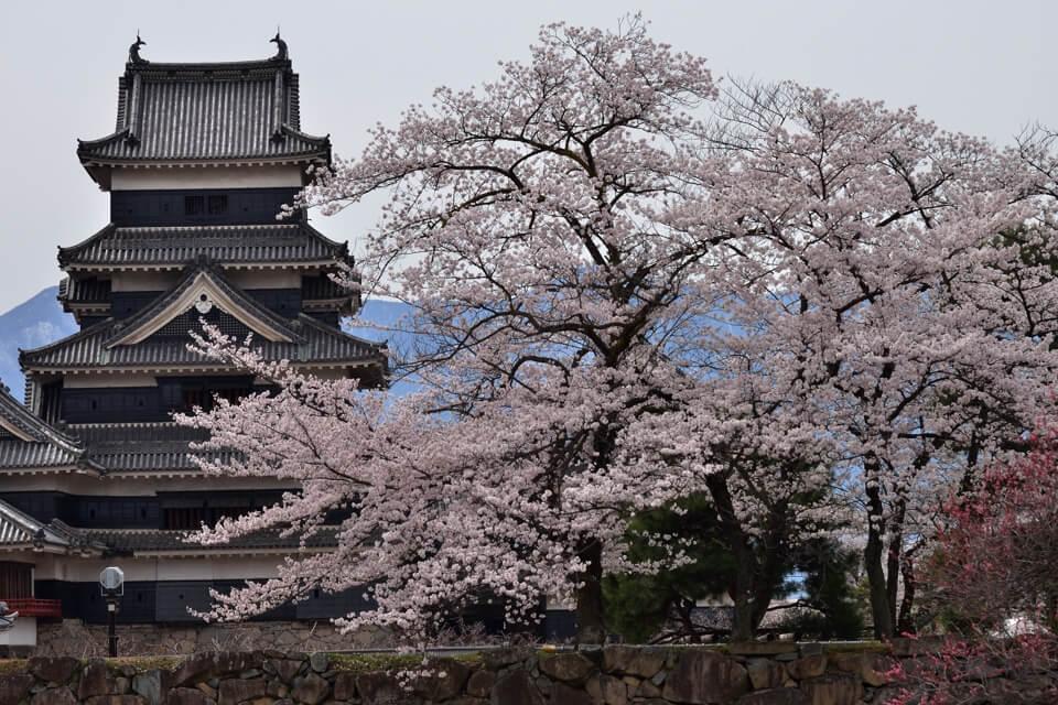 松本城の桜満開写真