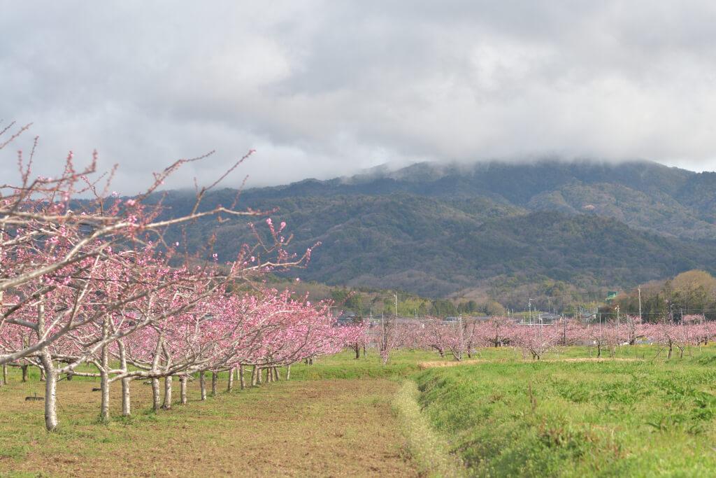 猿投の桃の花写真