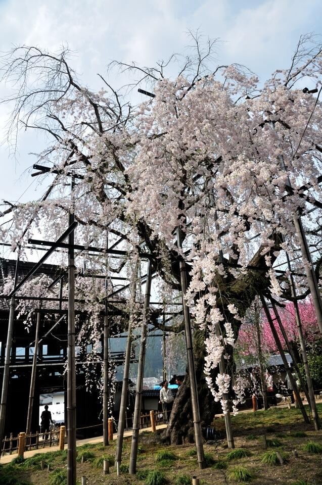 瑞龍寺の桜写真