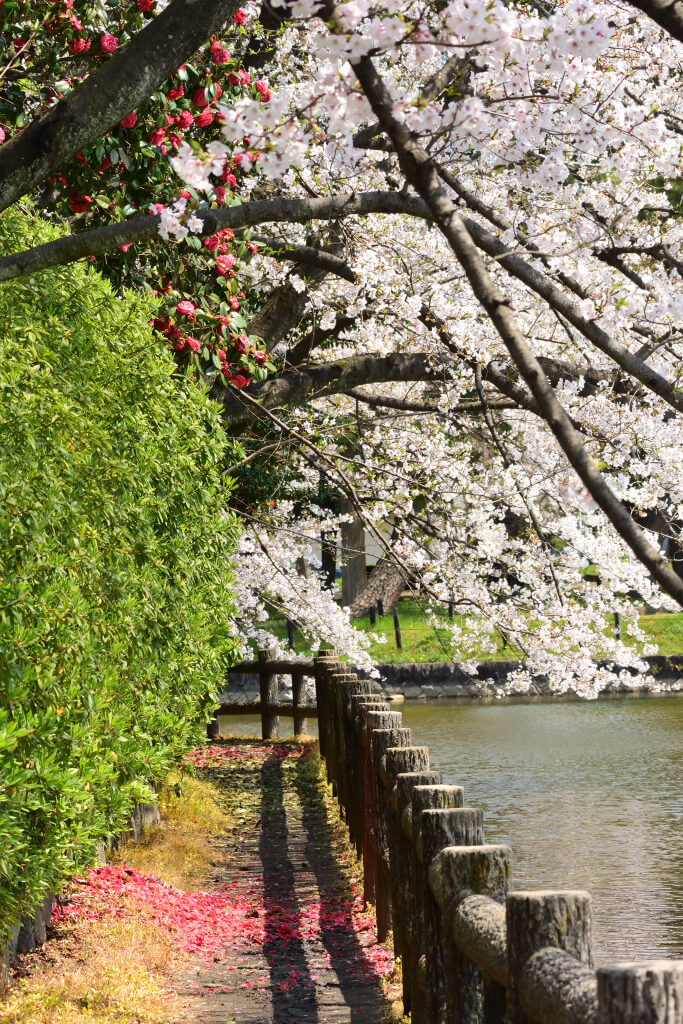 亀城公園の桜写真