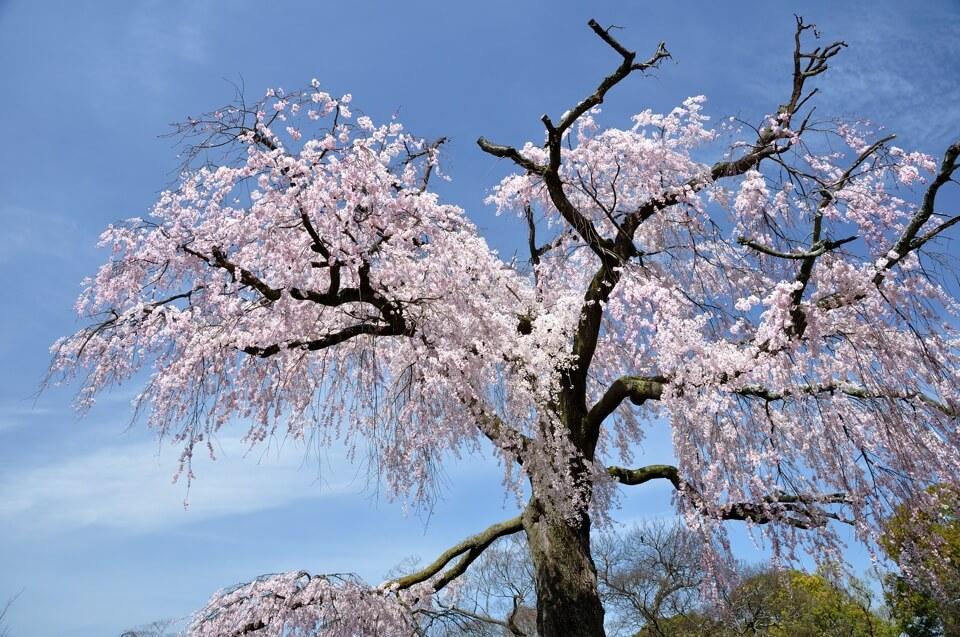 円山公園の枝垂れ桜写真