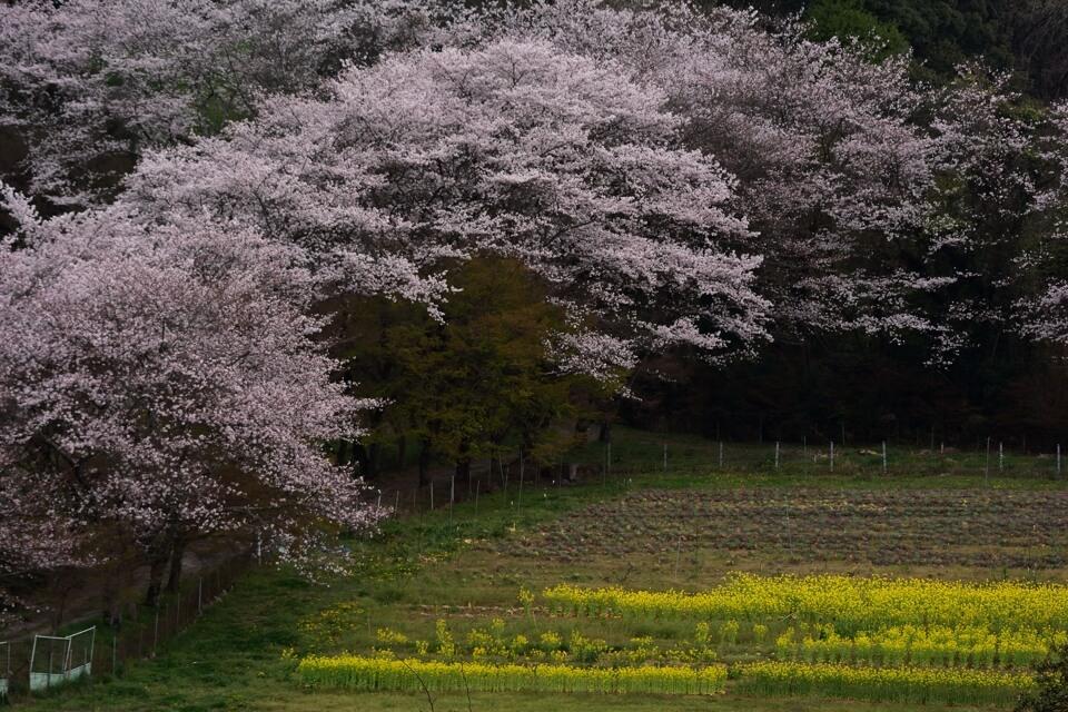 勘八牧場の桜写真