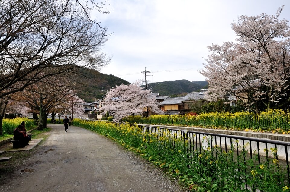 山科疎水の桜写真