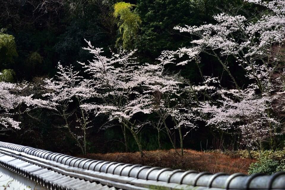 松平郷・高月院の桜写真