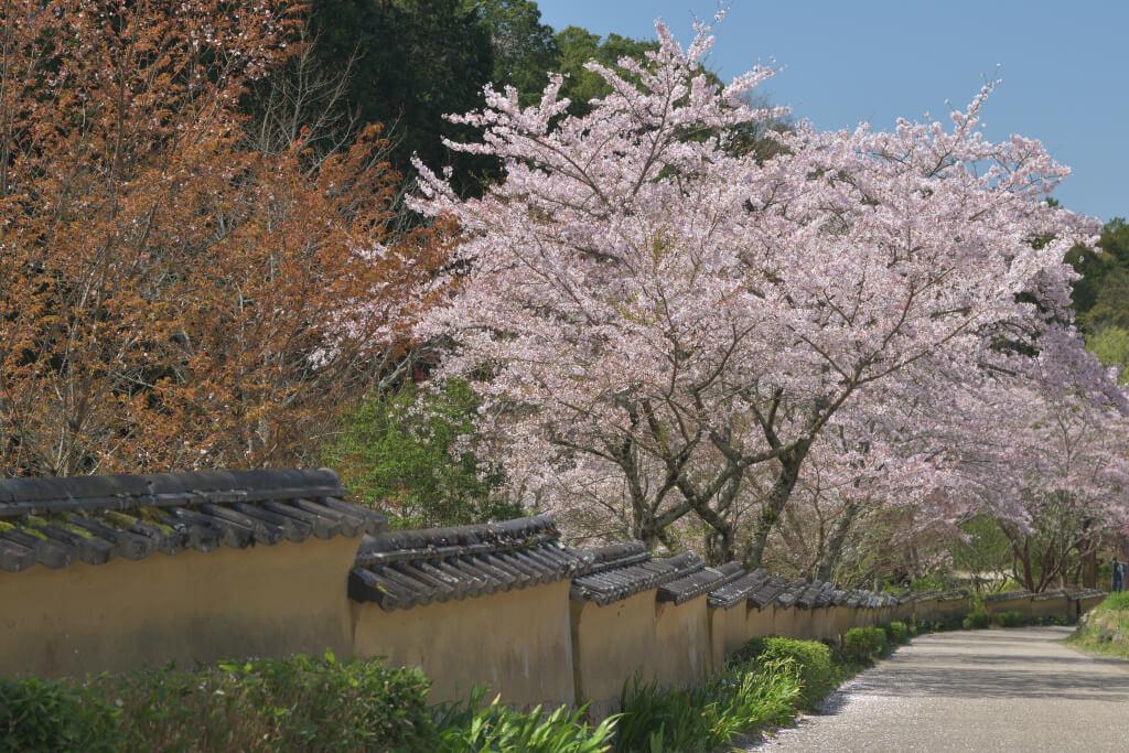 松平郷高月院の桜写真