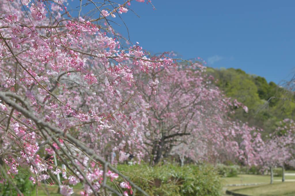 水源公園の桜並木写真