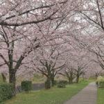 水無瀬川緑道の桜写真