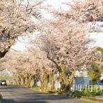 豊田高専の桜トンネル写真