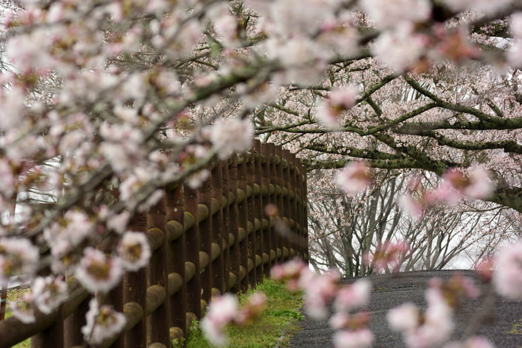 鞍ヶ池公園の桜写真