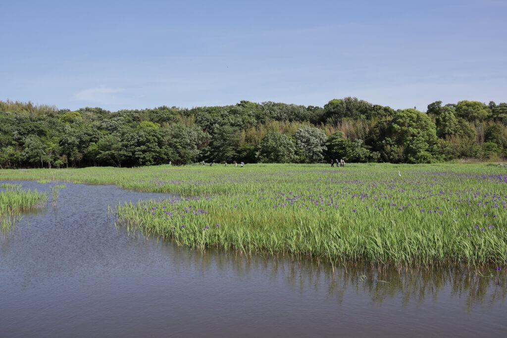 小堤西池カキツバタ群落写真