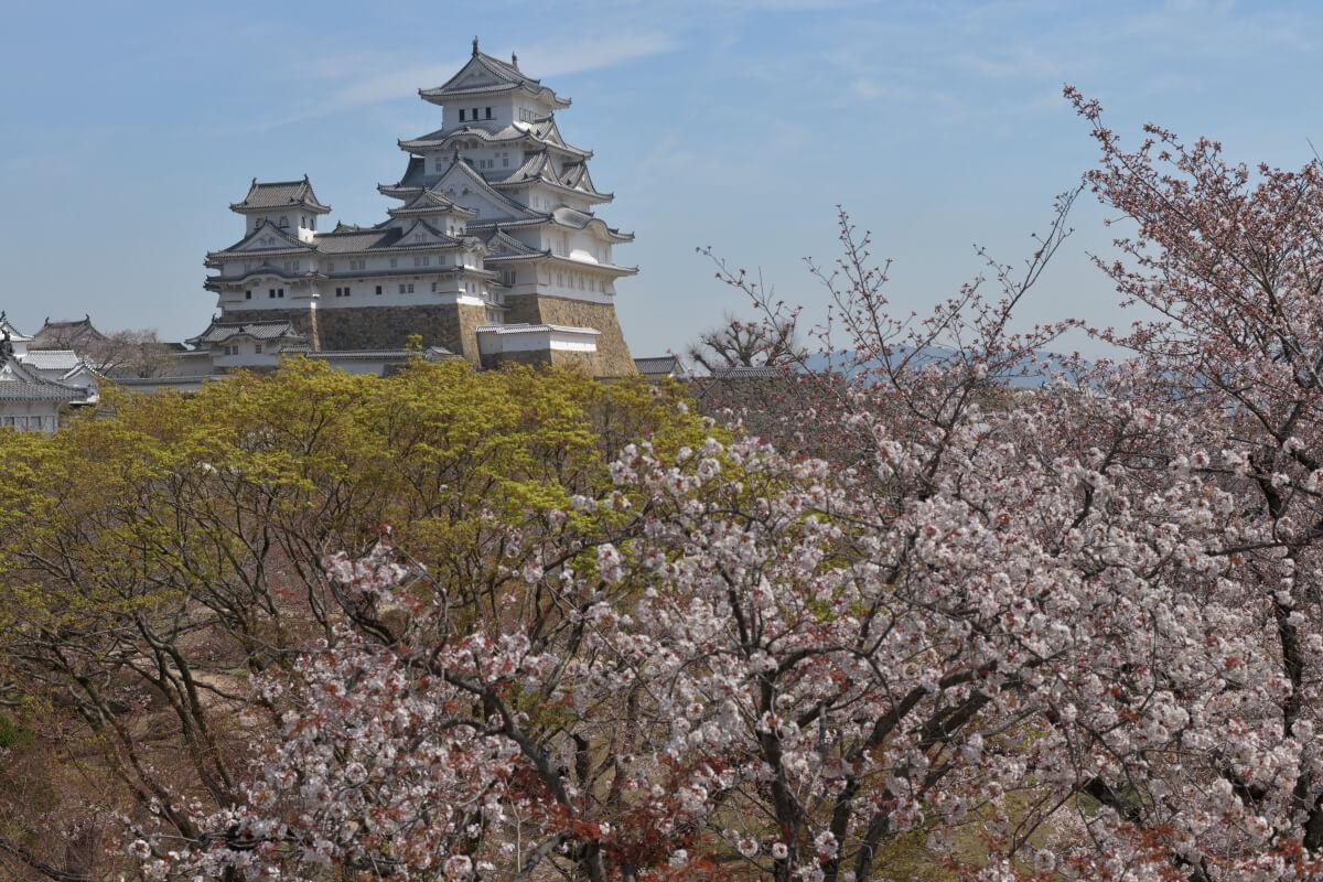 姫路城の桜写真
