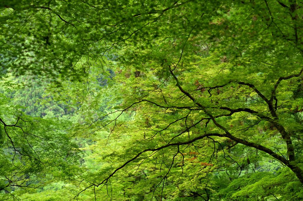 新緑の香嵐渓